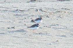 2 Ringed Plover