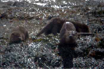 3 Otters