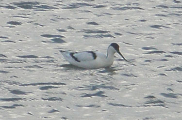Avocet Oct13