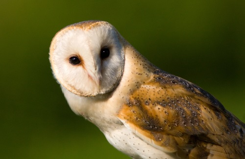 Barn Owl D Mitchell