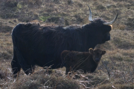 Black Highland cow                                               and calf