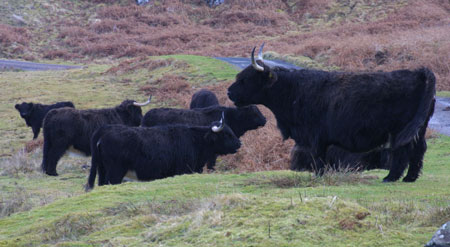 Black Highland Cattle