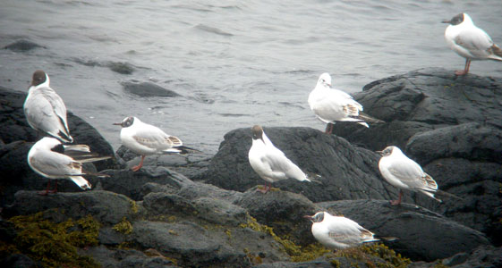 Black headed Gulls at Calgary