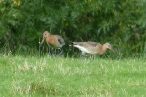 Black-tailed Godwits 2