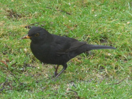 Blackbird in garden