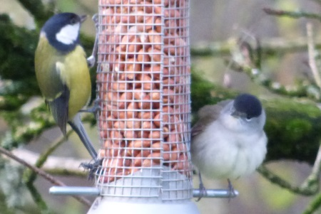 Blackcap and Great                                                 Tit