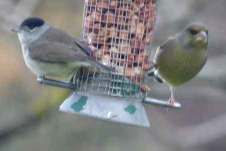 Blackcap and                                                 Greenfinch