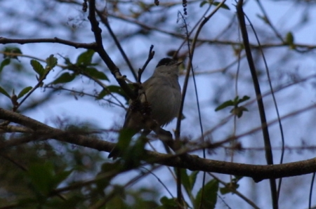 Blackcap in the branches