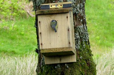A                             Blue Tit entering a nestbox
