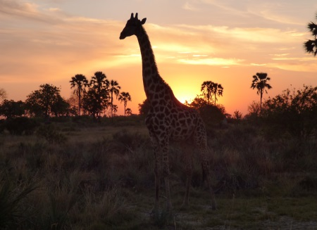 Bot Giraffe at                                                 sunset