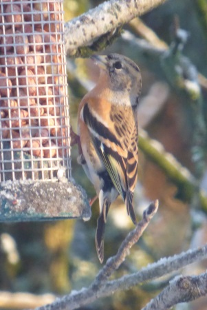 Brambling on feeder