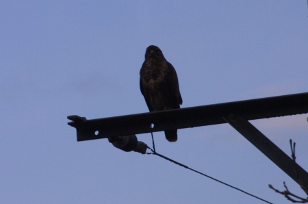 Buzzard on a pole