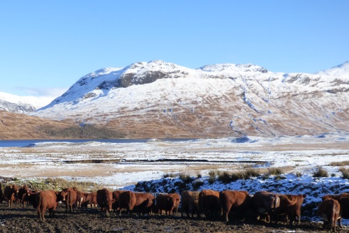 Cattle feeding at the end of Loch                                   Ba