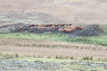 Cattle in feeding area, Loch                                       Ba
