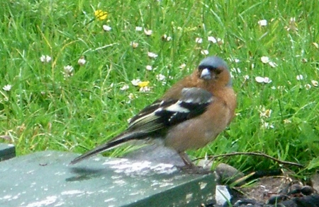 Chaffinch on table