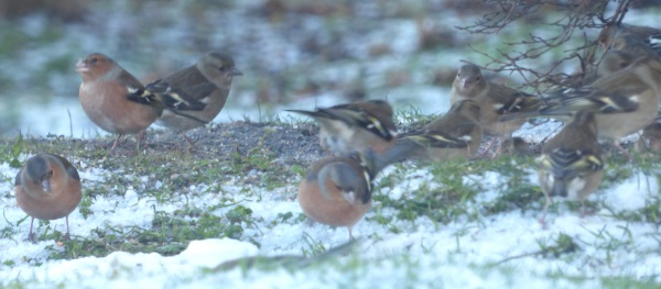 Chaffinches on the ground