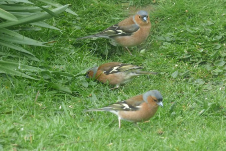 Chaffinches in the