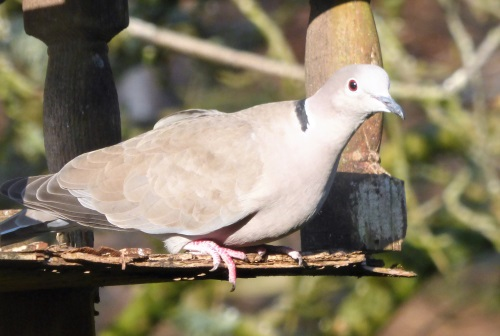 Collared Dove on bird table