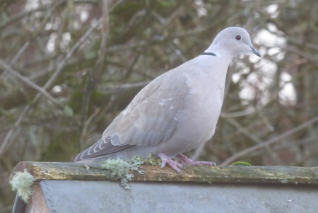 Collored Dove
