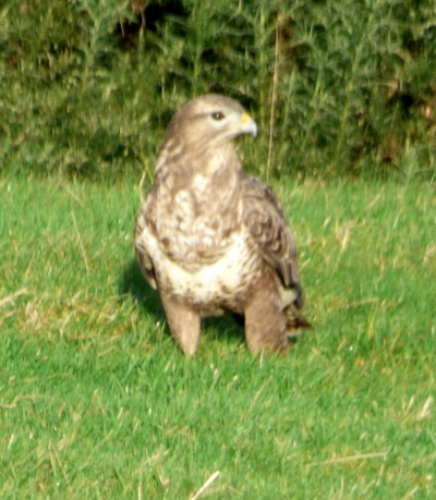 Common Buzzard in field