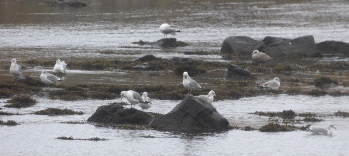 Common Gulls Cuin