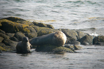 Common Seal and pup