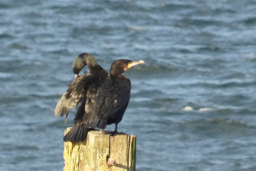 Cormorant on post