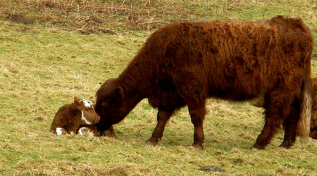 Cow and new born calf