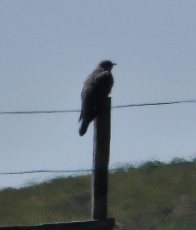 Cuckoo on a post