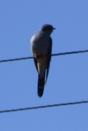 Cuckoo on wire