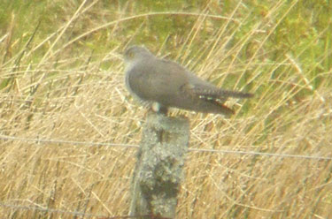 Cuckoo on post