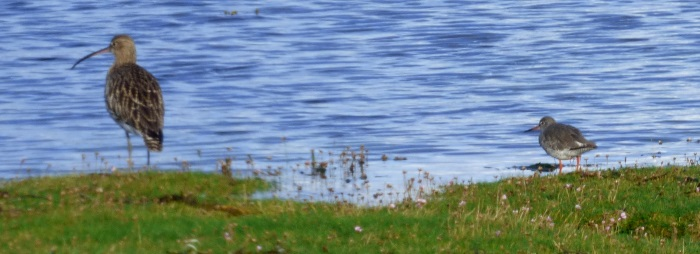 Curlew and                                               Redshank
