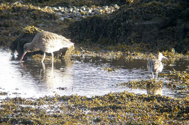 Curlew & Whimbrel (on                                       right) to compare size