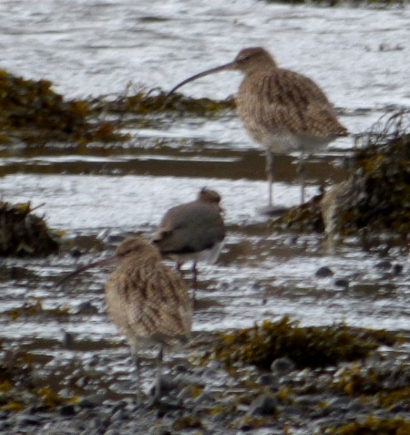 Curlew &Lapwing