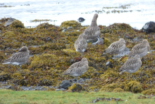 Curlews at rest