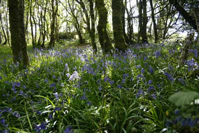 Bluebell Wood                             by Nic Davies