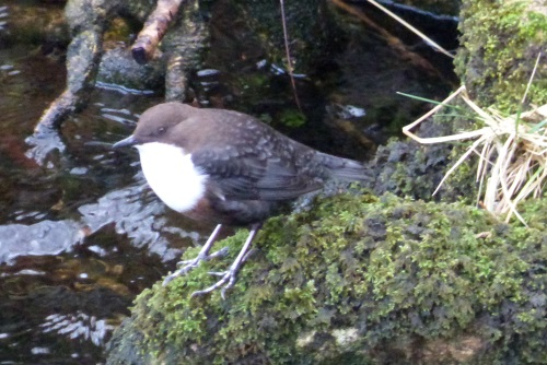 Dipper on the river bank