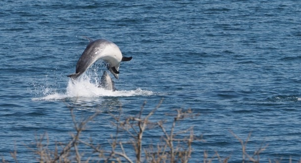 Dolphins in Salen Bay Tim &                                     Tania Nightingale