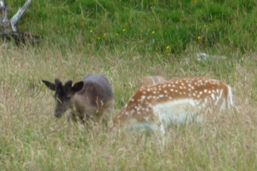 Fallow Deer dark young stag