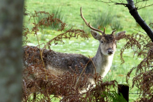 Fallow Deer stag 1 horned
