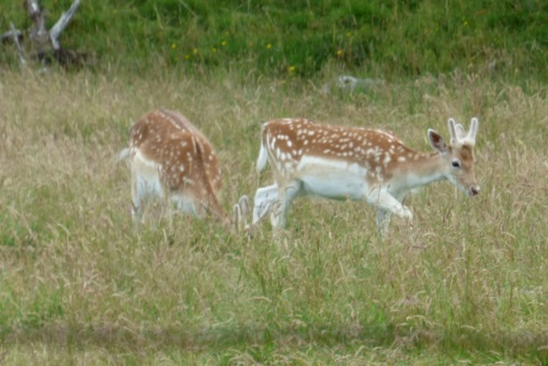 Fallow Deer young stag