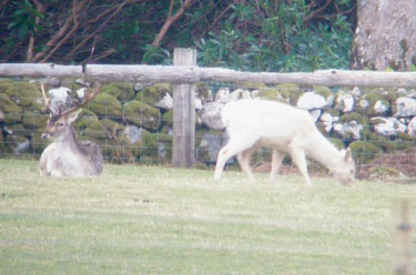 Fallow Deer, Stag and White                                       Female