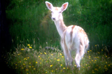 Fallow deer in a flower meadow