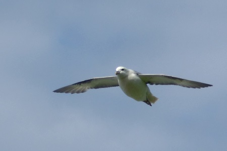 Fulmar flying