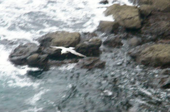 Fulmar on the wing