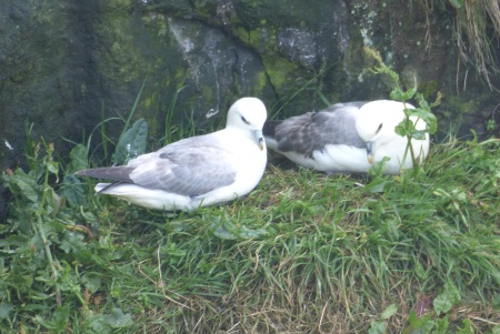 Fulmars on Lunga