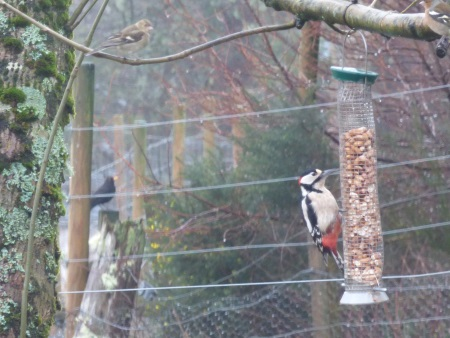 GS Woodpecker in                                               garden