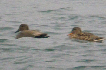 Gadwall and female Mallard