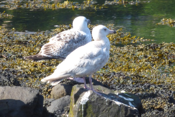 Glaucous Gull with Herring Gull                                   behind