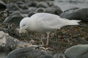 Glaucous Gull AS